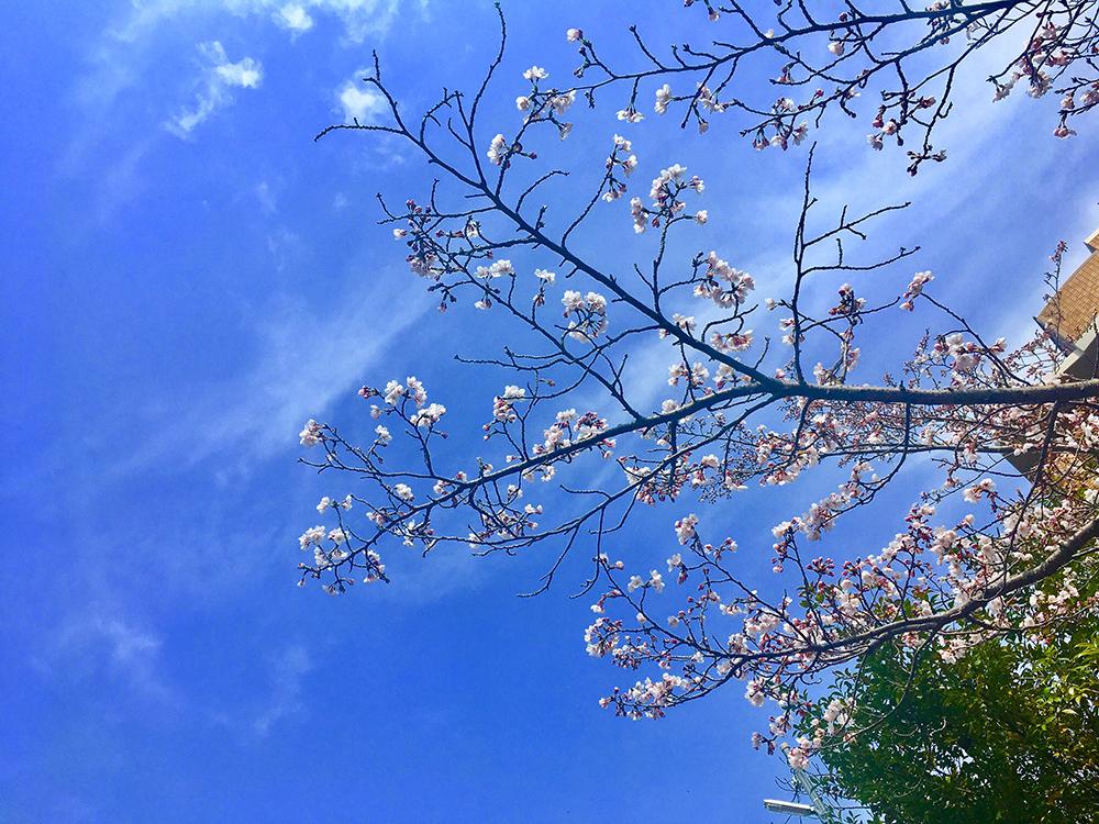 Sakura Lapua